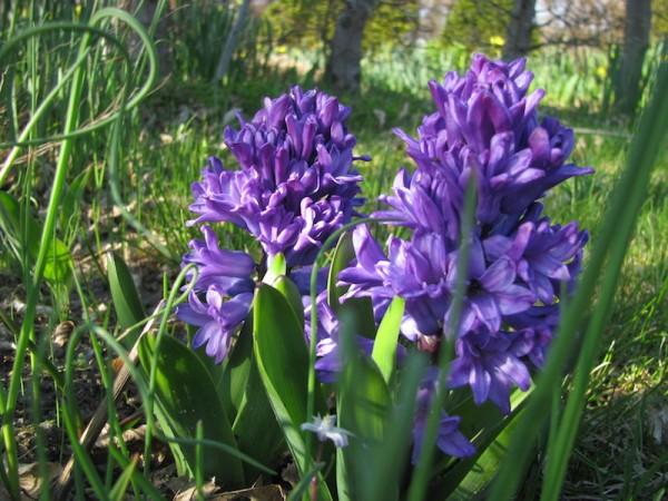 Hyazinthe 'Blue Pearl'