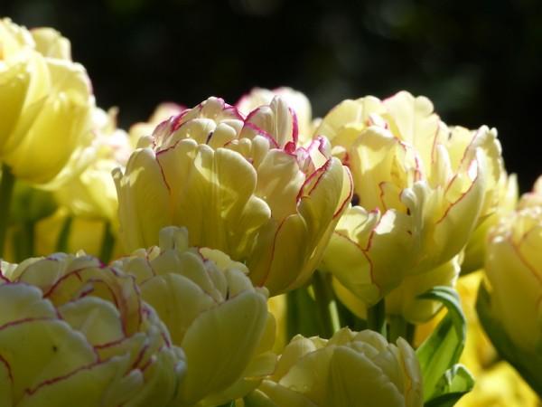 Tulpe Belicia