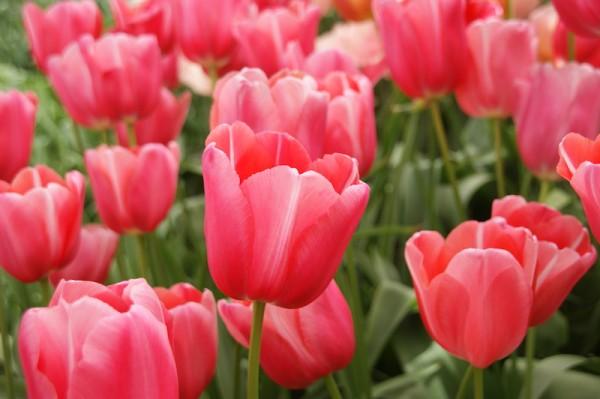 Tulpe Renown