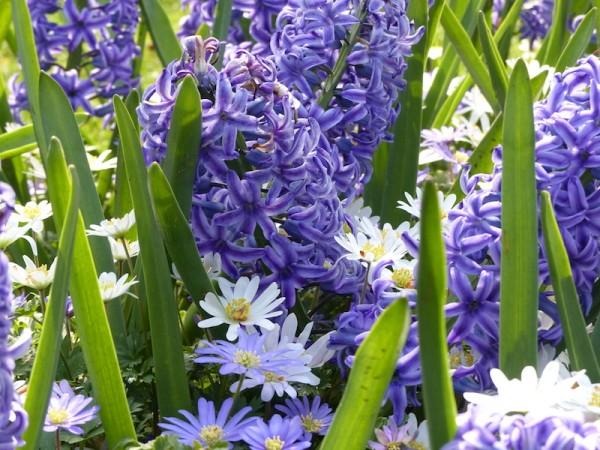 Hyazinthe Blue Jacket mit Anemone blanda