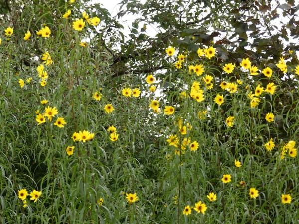 Weidenblättrige Sonnenblume – Helianthus salicifolius var orgyalis