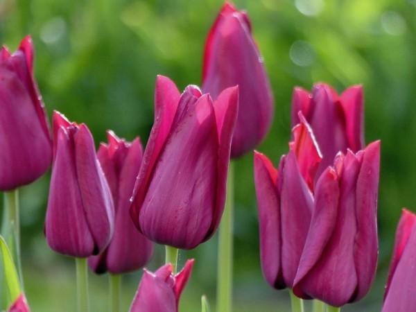 Tulpe Merlot