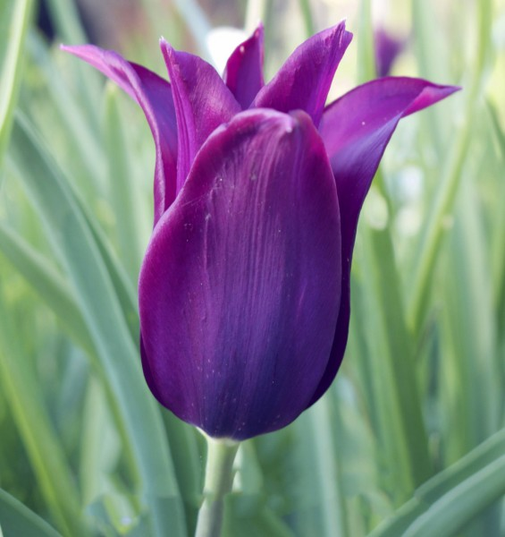 Tulpe Purple Dream