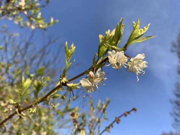Lonicera purpusii blüht manchmal noch im April
