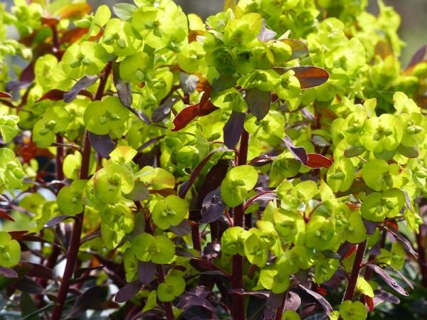 Wolfsmilchgewächse (Euphorbiaceae) - alle Nichtsukkulenten - Seite 4 Euphorbia4_600x600
