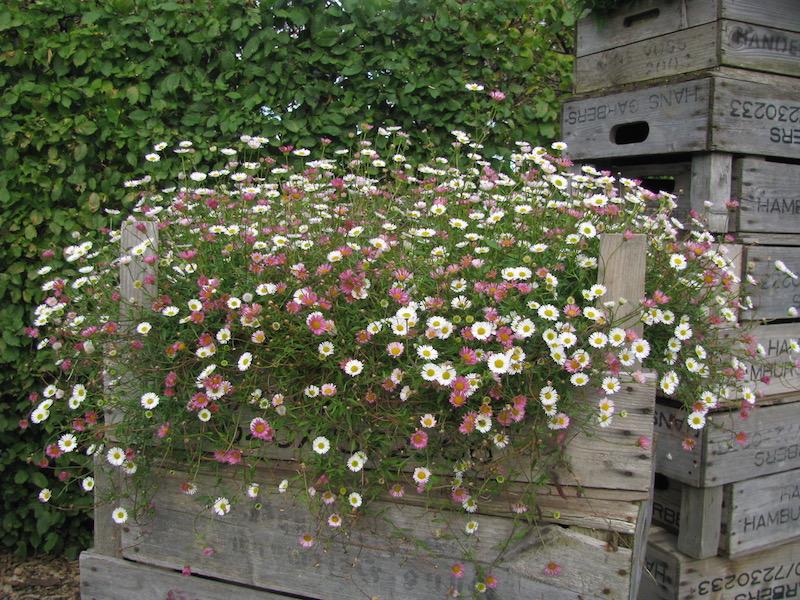 Spanische Ganseblumchen Erigeron Karvinskianus Shop Staudengarten Bornhoved