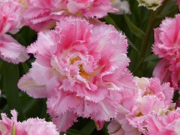 Tulpe Crispion Sweet