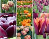 Geheimnisvolle Tulpen