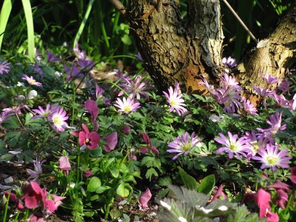 Anemone blanda 'Pink Star' 15 Stück