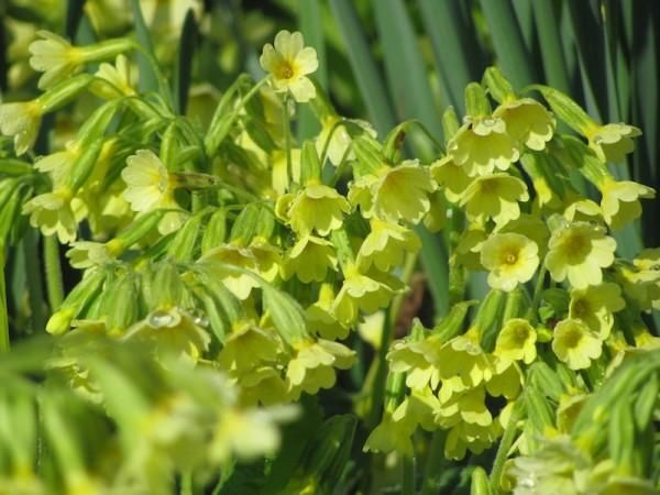 Wald-Schlüsselblume – Primula elatior