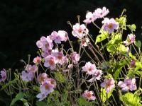Japan-Anemone - Anemone japonica 'September Charme'