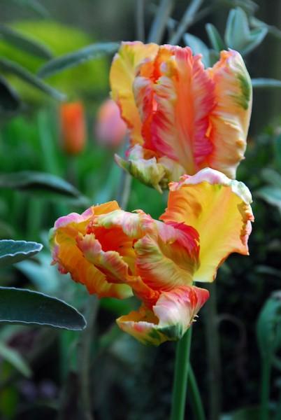 Tulpe Orange Favorite