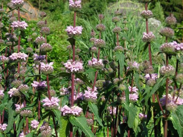 Phlomis tuberosa Amazone
