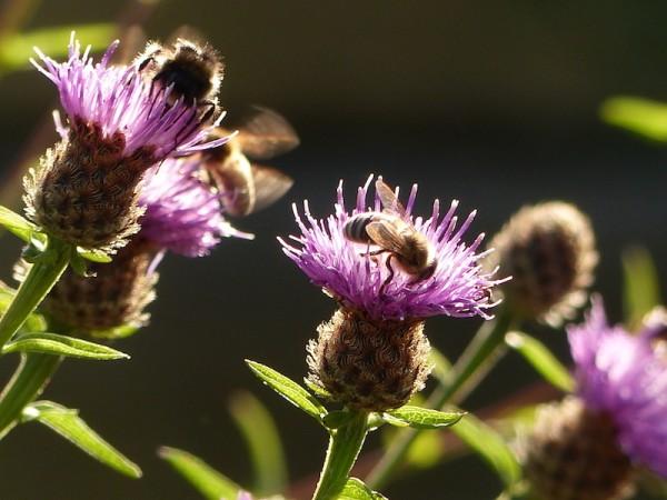 Wiesen-Flockenblume - Centaurea jacea