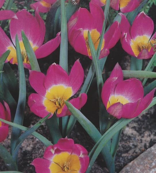 Tulipa pulchella Yellow Base