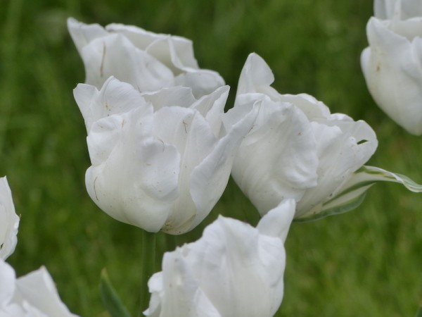 Tulpe White Hawk