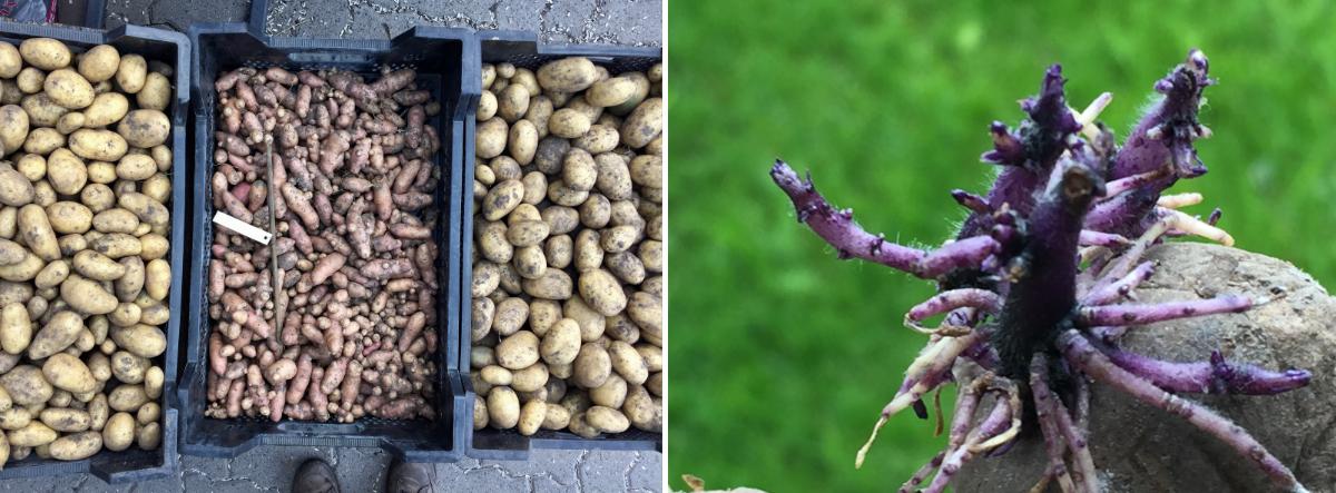 beitragsbild-kartoffeln-lagern2
