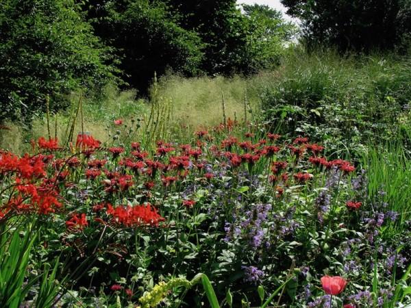 Indianernessel - Monarda fistulosa 'Gardenview Scarlet'