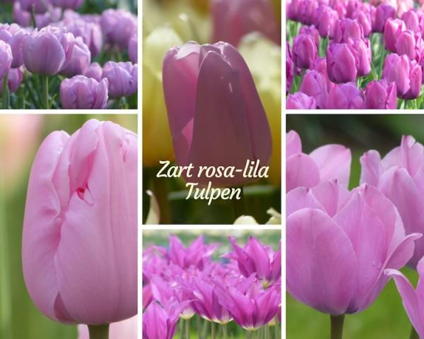 zart rosa lila Tulpen