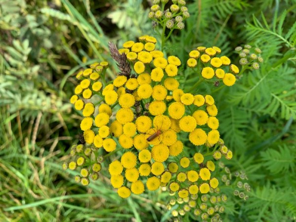Rainfarn – Tanacetum vulgare