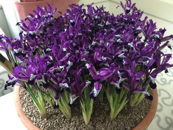 Iris reticulata 'Spot On'