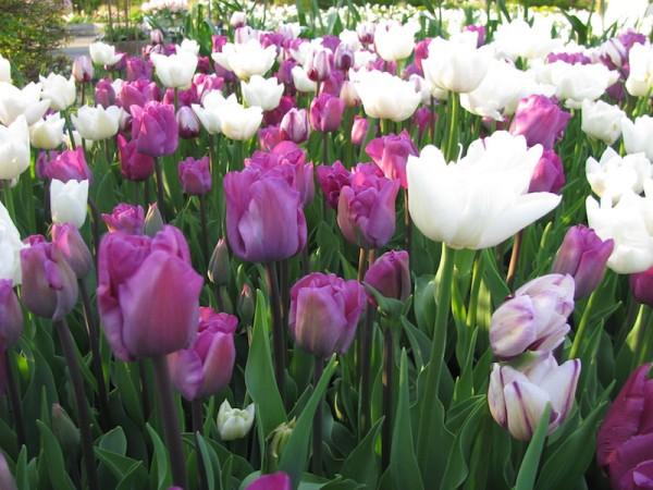 Tulpen im Angebot in rosa, lila und weiß