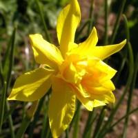 Narcissus campernelli 'Plenus'