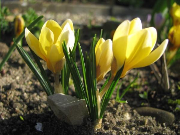 Garten-Krokus oder Balkan-Krokus  Crocus chrysanthus 'E.P.Bowles'