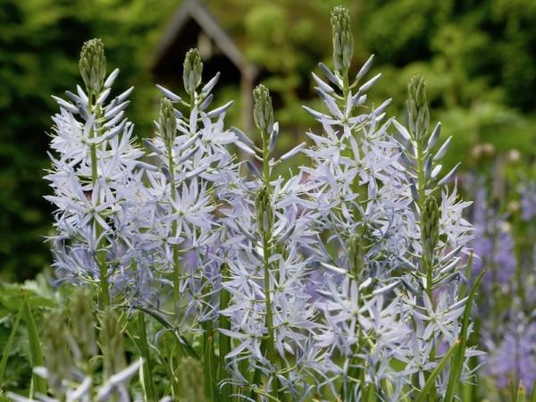 Camassia leichtlinii 'Blue Heaven'