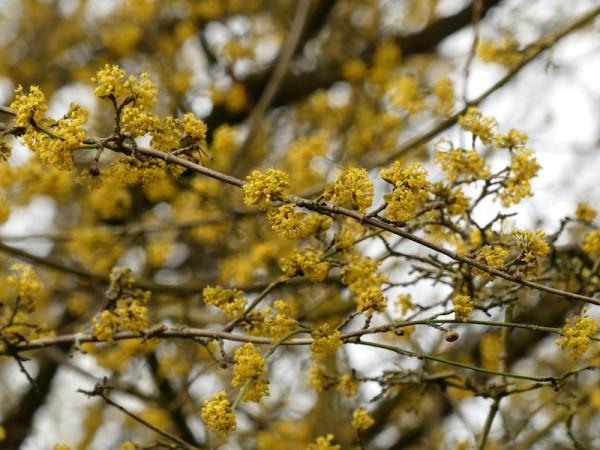 Kornelkirschenblüte