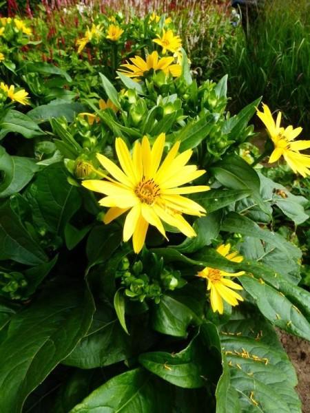 Kompakte Becherpflanze - Silphium perfoliatum 'JS Maya'