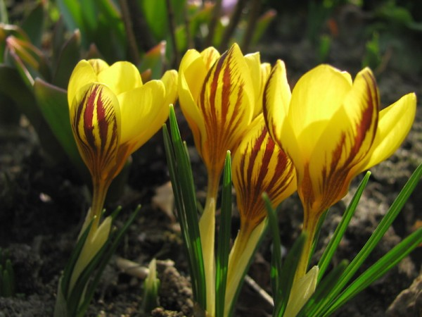 Balkan-Krokus oder Gartenkrokus  Crocus chrysanthus 'Saturnus'