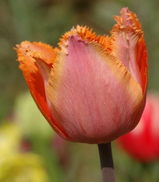 Tulpe Aleppo