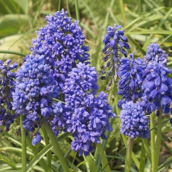 Muscari armeniacum 'Blue Spike' 20 Stück