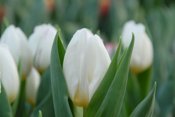 Tulpe White Prince