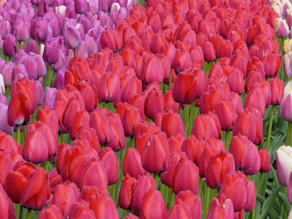 Tulpe Red Pride