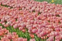 Tulpe Mystik van Eijk