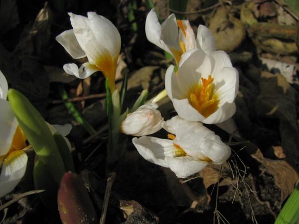 Crocus siberi 'Bowles White'