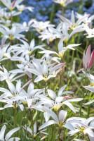 Tulipa clusiana stellata