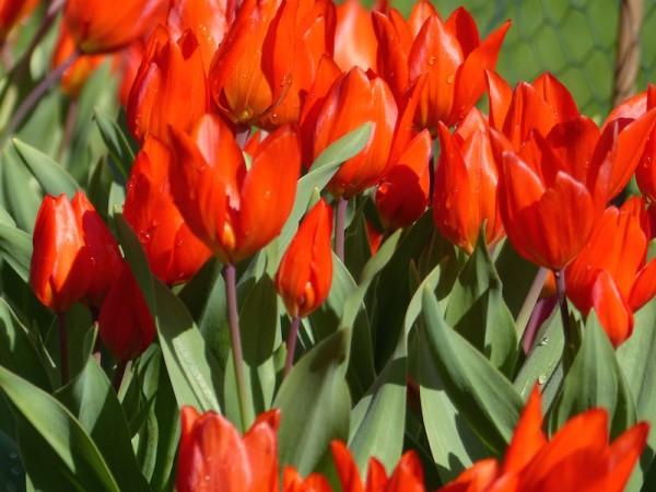 Tulipa praestans 'Zwanenburg Var.'