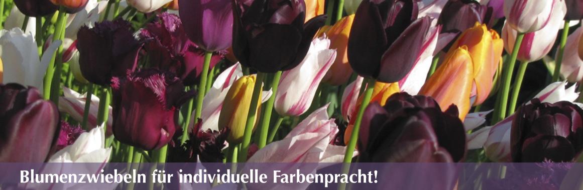 blumenzwiebeln-staudengaertnerei581dca45911df