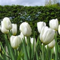 Tulpe Purissima
