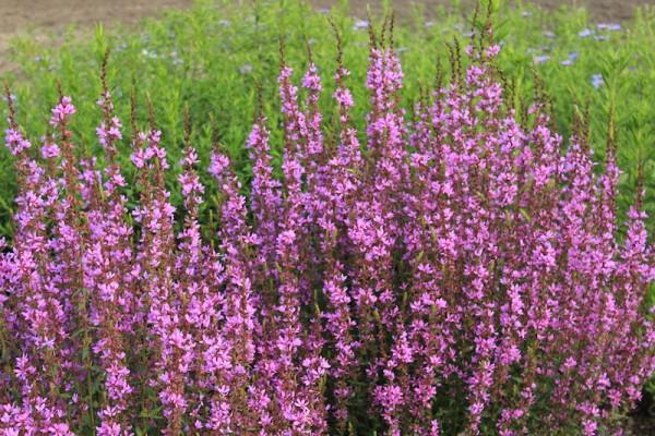 Blutweiderich - Lythrum 'Dropmore Purple'
