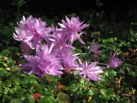 Herbstzeitlose Waterlily