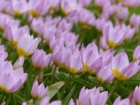 Tulpe Lilac Wonder