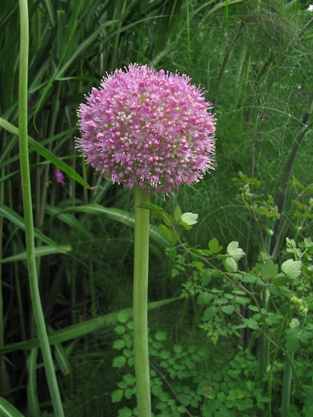Allium Twinkling Star