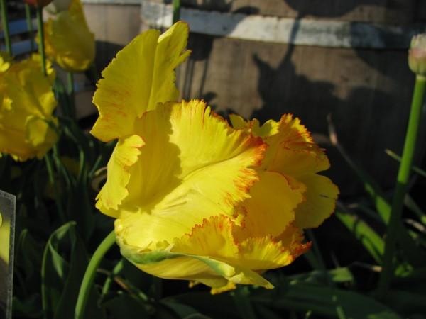 Tulpe Texas Gold