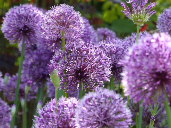 Allium Powder Puff