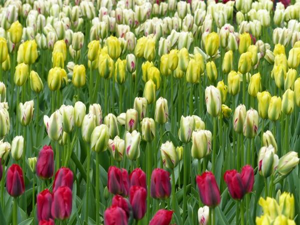 Tulpe Yellow Spring Green