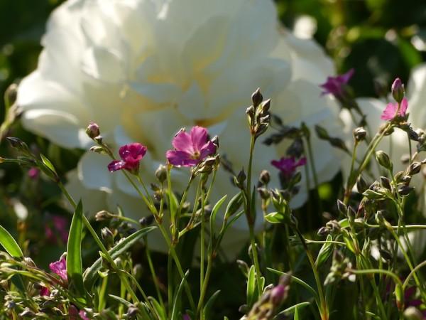 Kleines rosa Schleierkraut